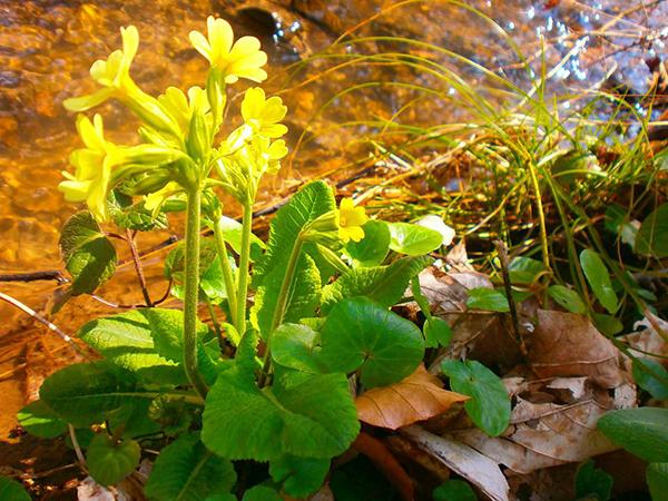 Fototoxicita – fotosenzitiva éterických olejů